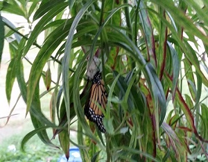 monarchbirth2